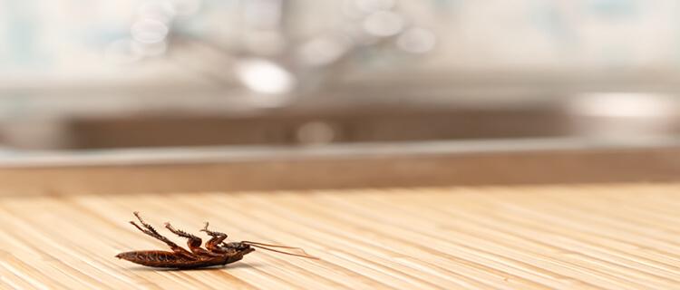 ゴミ屋敷に出没するゴキブリ